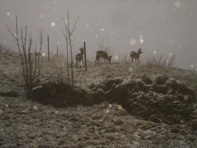 Amici caprioli durante la nevicata